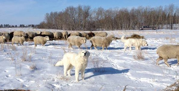 Homer working along side Great Pyrenees protecting sheep in Saskatchewan
