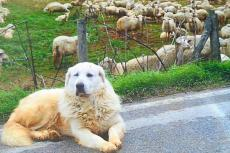 Dog with sheeps